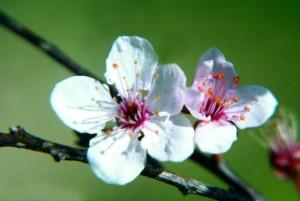 fioridibach CherryPlum