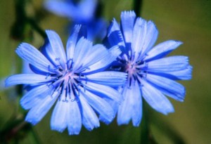 fioridibach Chicory