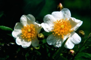 fioridibach Wild Rose