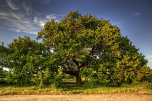 radicarsi-quercia