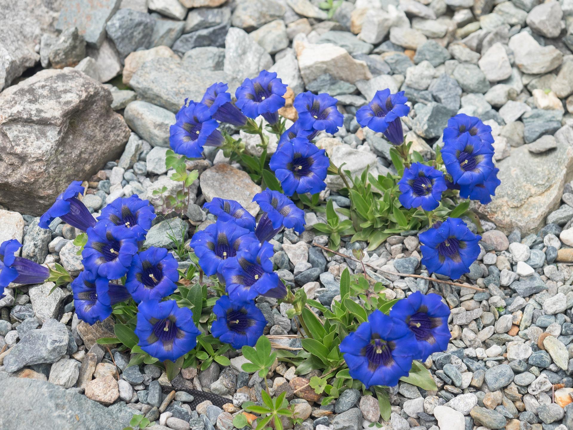 fiori di bach - gentian L